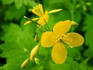 Цветок Чистотел