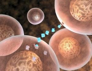 Работа пептидов в организме
