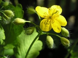 Растение Чистотел